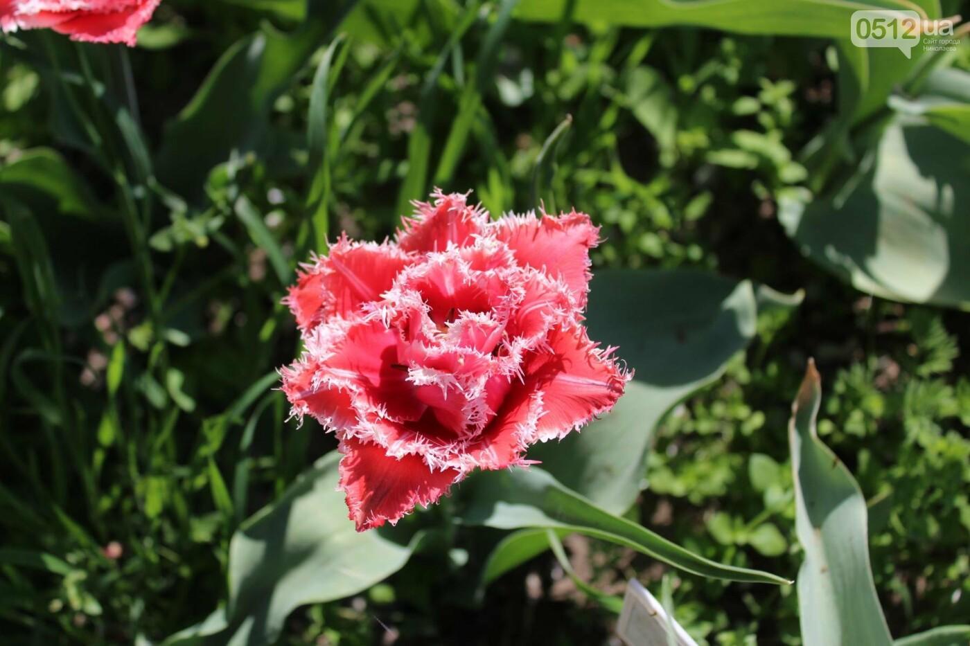 В Николаеве расцвела тюльпановая сказка,- ФОТОРЕПОРТАЖ , фото-4