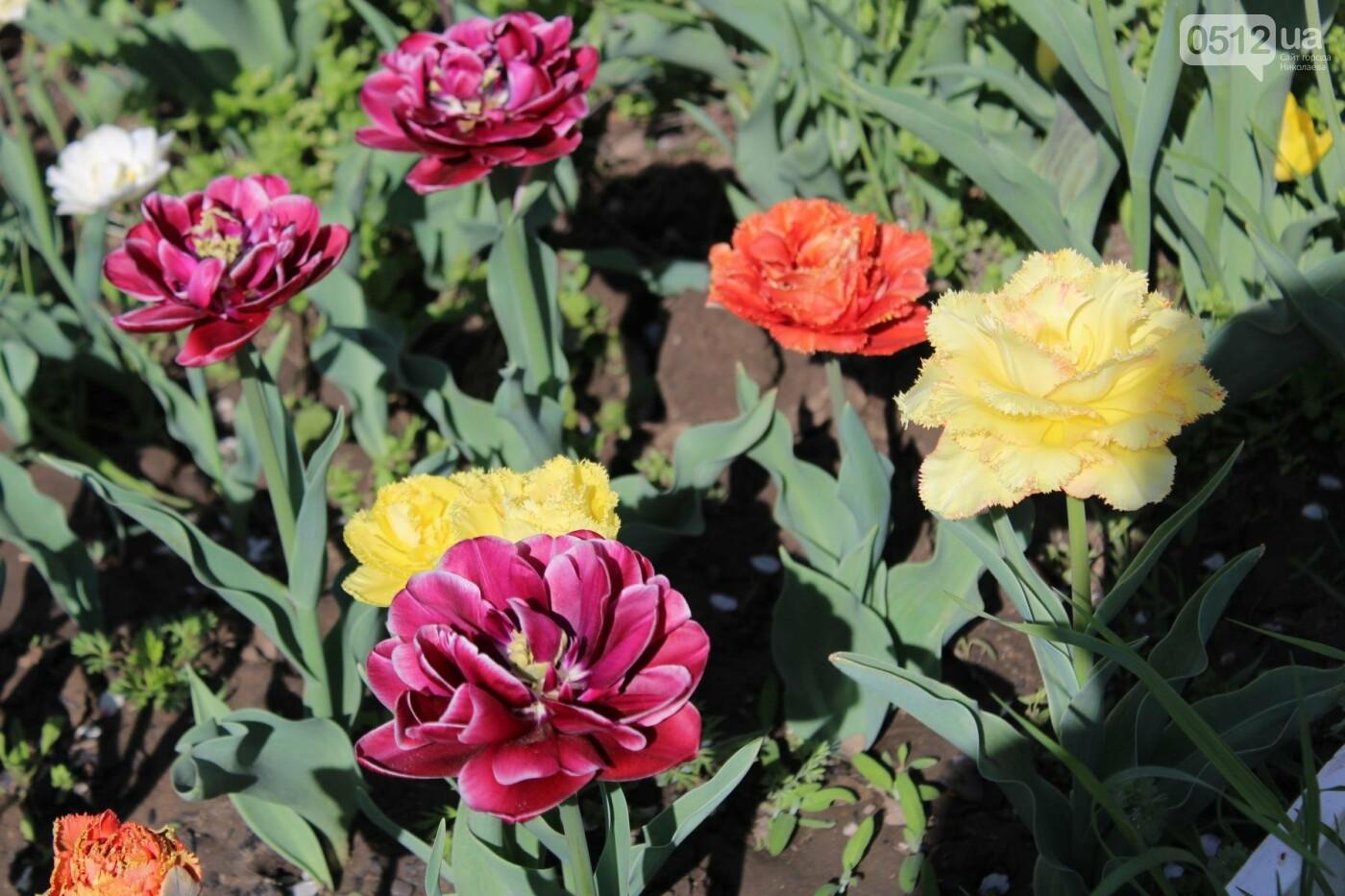 В Николаеве расцвела тюльпановая сказка,- ФОТОРЕПОРТАЖ , фото-5