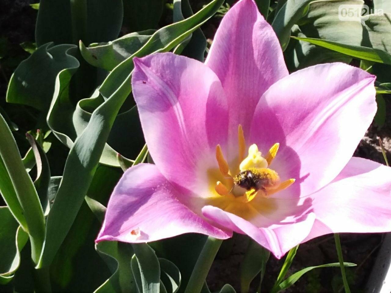 В Николаеве расцвела тюльпановая сказка,- ФОТОРЕПОРТАЖ , фото-10