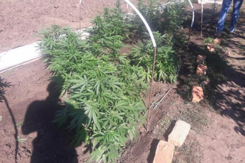 Выращивание конопли у себя на участке семена конопли расценка