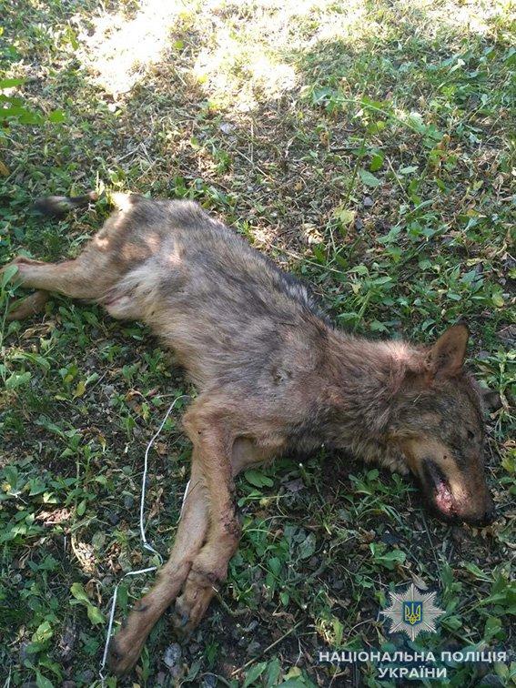В Новой Одессе на местного жителя напал бешеный волк, - ФОТО, фото-1