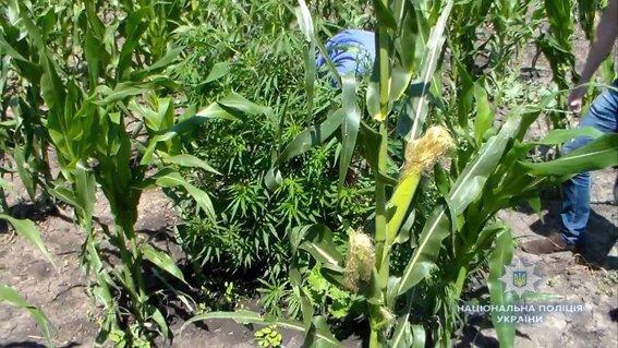 Почти что кукуруза: на Николаевщине растили коноплю маскируя в злаковых, - ФОТО, фото-2