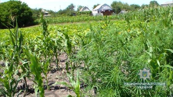 Почти что кукуруза: на Николаевщине растили коноплю маскируя в злаковых, - ФОТО, фото-3