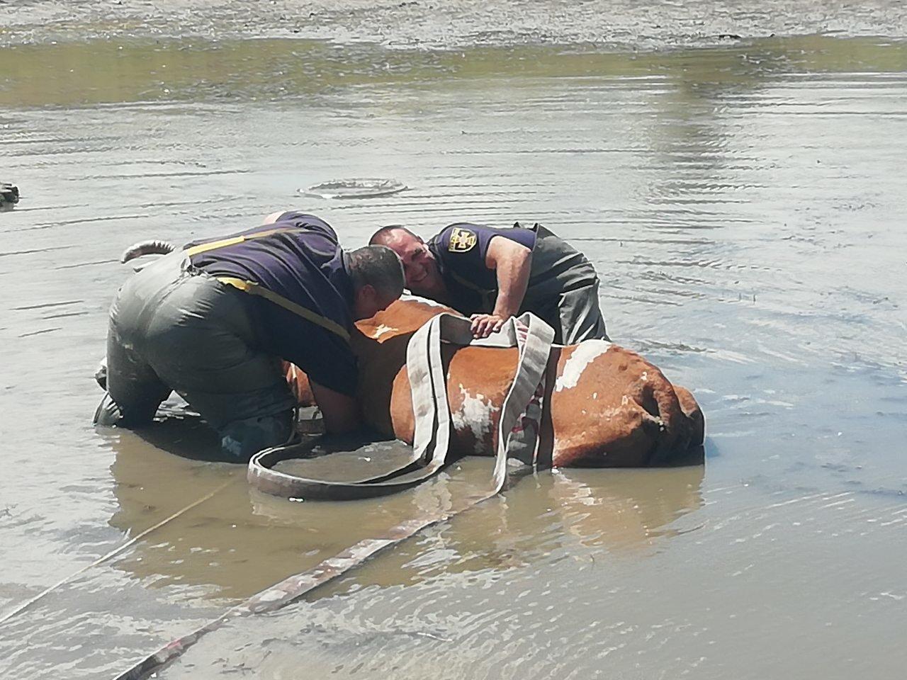 Спасатели Николаевщины вытащили корову из болота, - ФОТО, фото-3